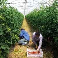 Sklaven auf Italiens Feldern